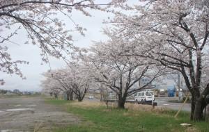 神座運動場駐車場の桜