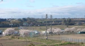 神座運動場の桜